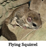 flying squirrel 2