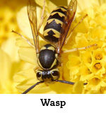 wasp-hornets-yellow jackets