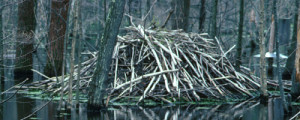 beaver_lodge